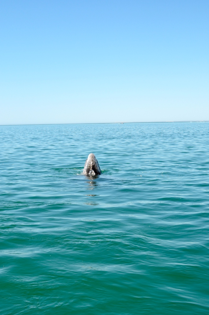 A close encounter with a gray whale!