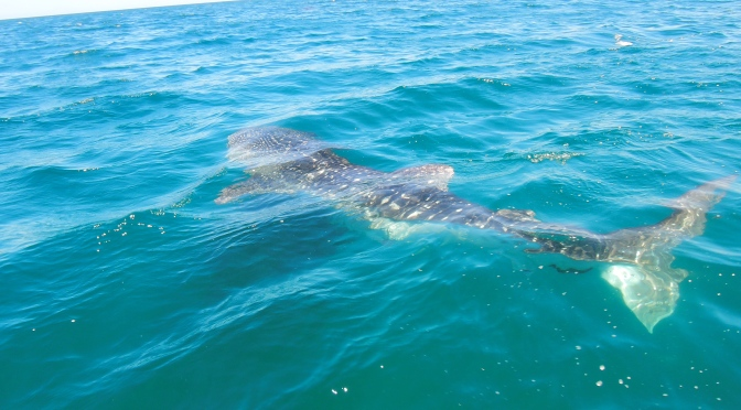 In Search of Whale Sharks