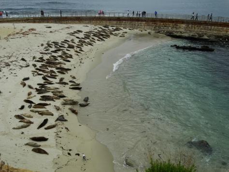Harbor seals at Casa Beach in La Jolla, CA.