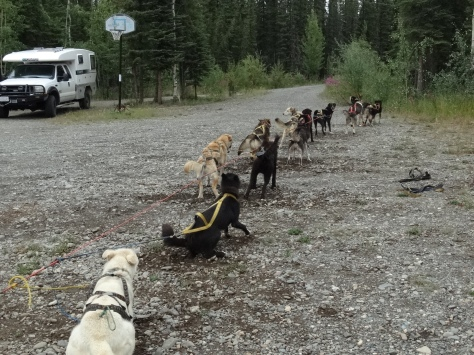 You can see the dogs straining against their harnesses ready to hit the trail.