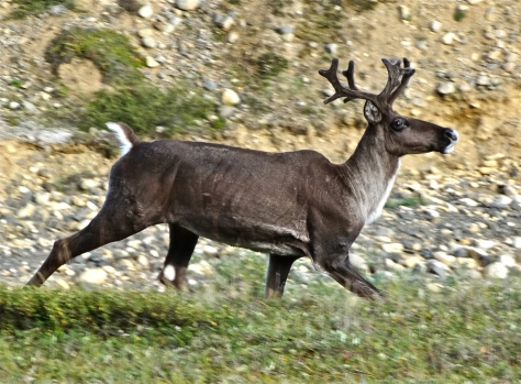 One of dozens of caribou seen along the road.
