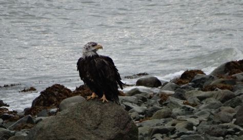 This was a scrappy looking bald eagle but I was delighted to see him!