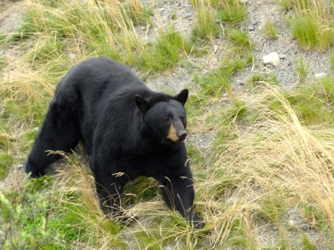 One of the resident black bears.